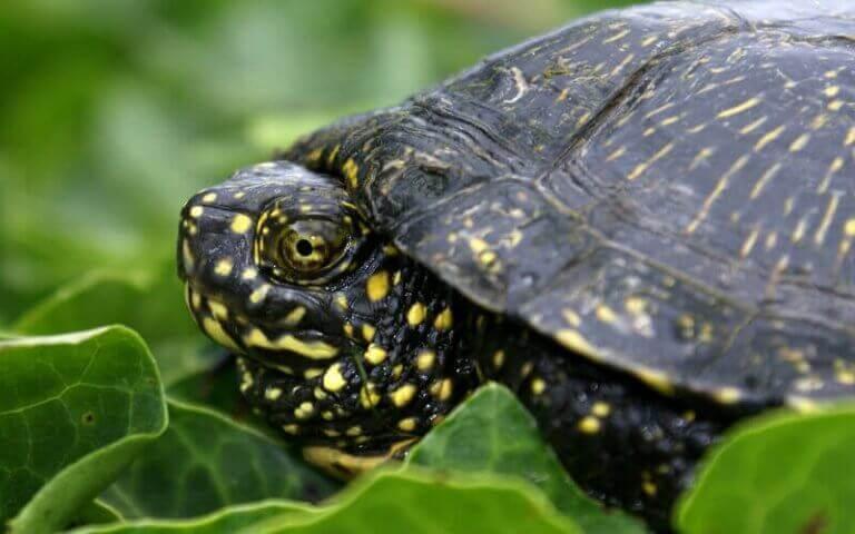 Europeisk kärrsköldpadda i naturen.