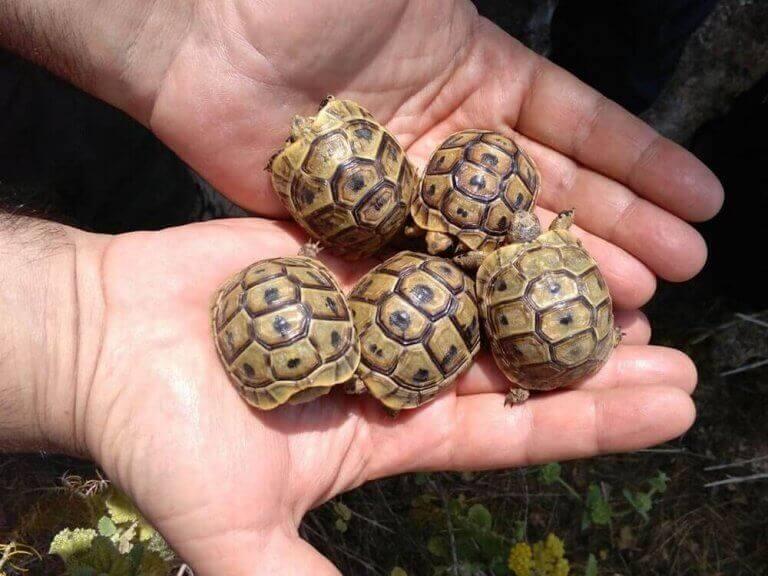 Morisk landsköldpaddebebisar i ett par utsträckta händer.