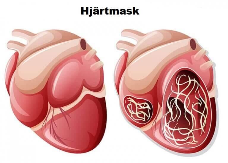 Hjärtmask