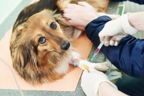 Hund får spruta