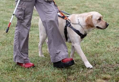 Ledarhundars träning: en fantastisk process