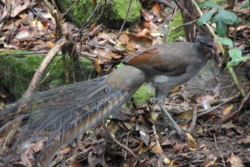 Lyrfågeln och dess otroliga egenskaper