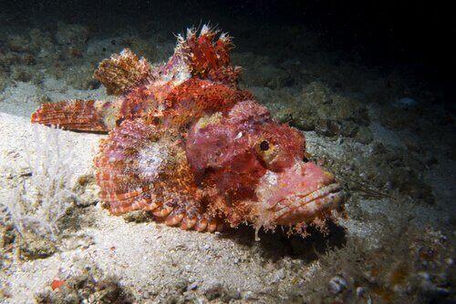 Synaceia horrida på havsbotten.