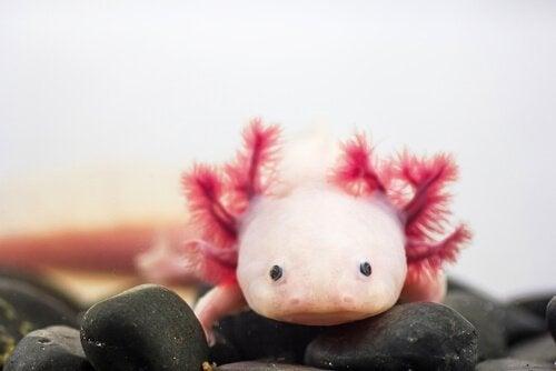 Axolotl bland stenar.