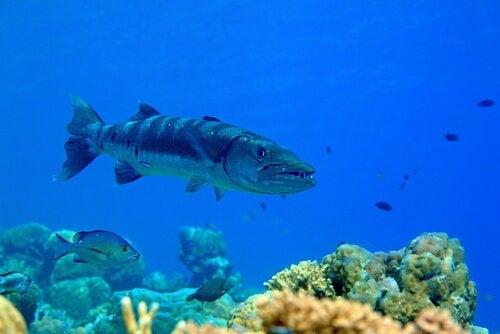 Barracudafisk vid revet.