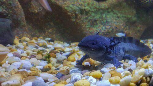 Blå axolotl på bottnen.