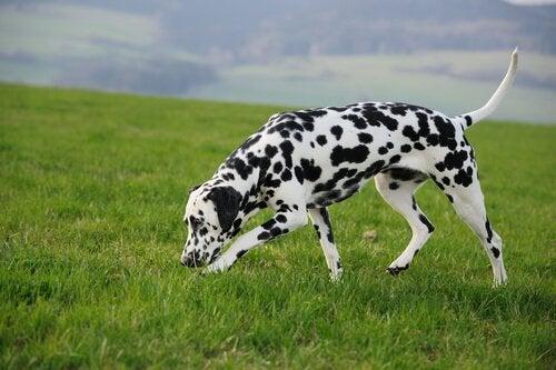 Dalmatiner sniffar på marken.