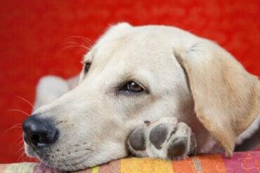 Orsaker till letargi hos hundar - Vilka symptom finns?