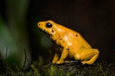 Fakta om den gula pilgiftsgrodan: en giftig amfibie