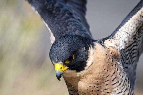 Falk med gul näbb.