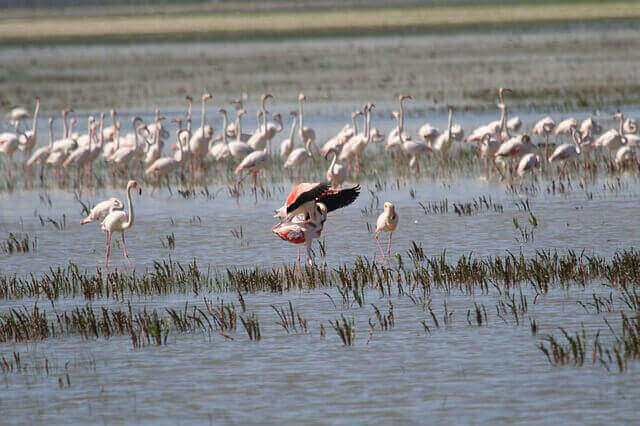 Flamingos vid en stor sjö.