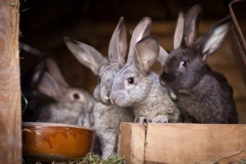 Flera kaniner i hydda.