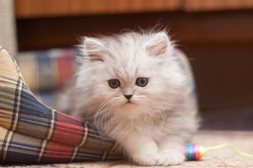 Fluffig perser i en kattsäng.