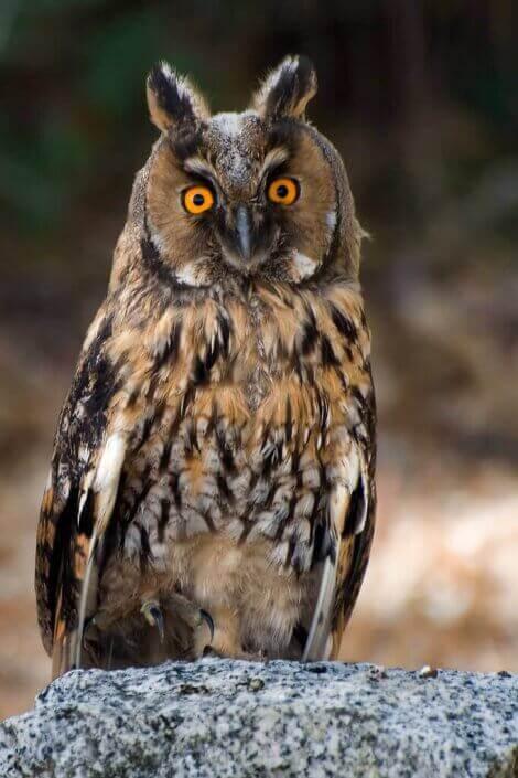 Hornuggla med stora ögon.