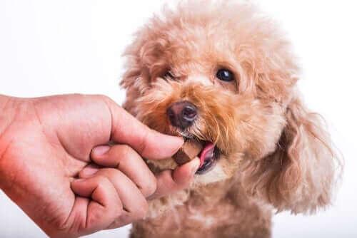 Hund får ett hjärtmaskpiller.