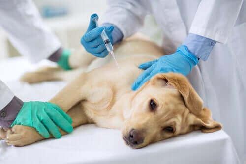 Hund får en spruta hos veterinären.