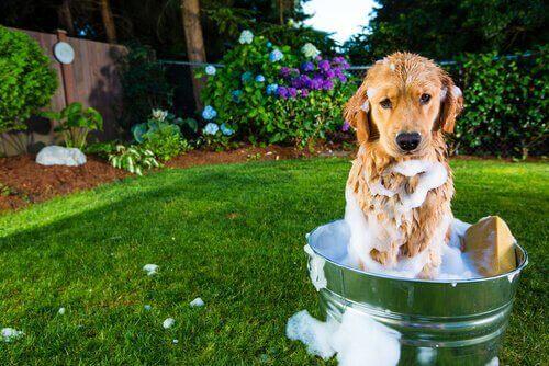 Hund sitter i en badbalja i trädgården.