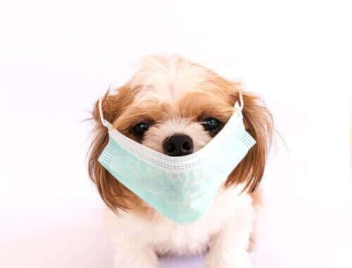 6 väldigt smittsamma sjukdomarna hos hundar