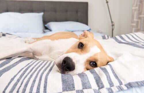 Hund som ligger på sängen.