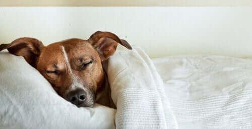 Hund med magont vilar i en säng.