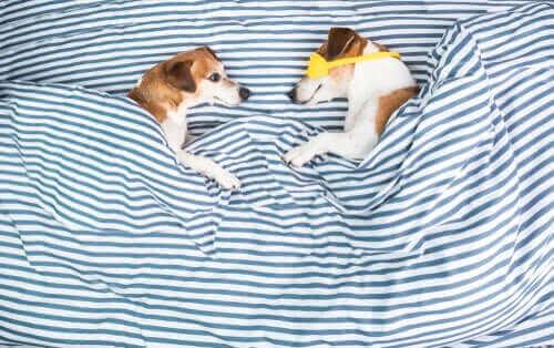 Två hundar är nerbäddade i blårandiga lakan.
