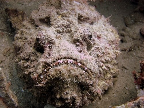 Kamouflerad stenfisk på havsbotten.