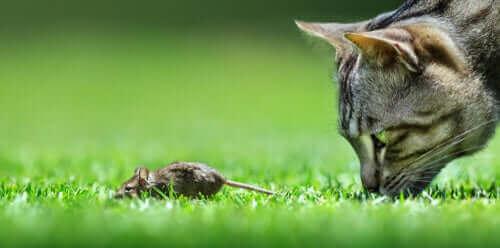 katt använder sina morrhår för att jaga en mus.