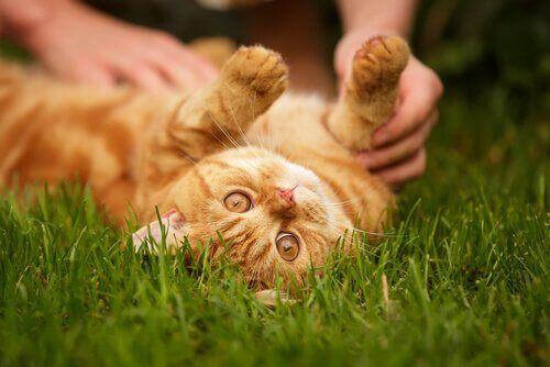 Katt rullar på gräsmattan.