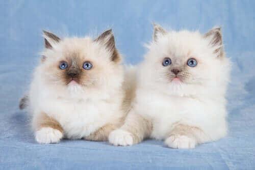 Katter med blå ögon.