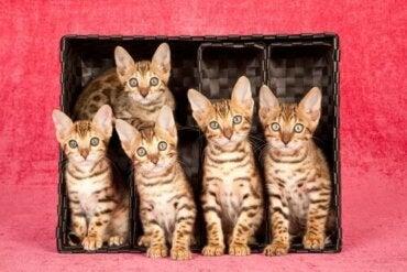 Lista för kattälskare: 7 kattraser du kommer att älska