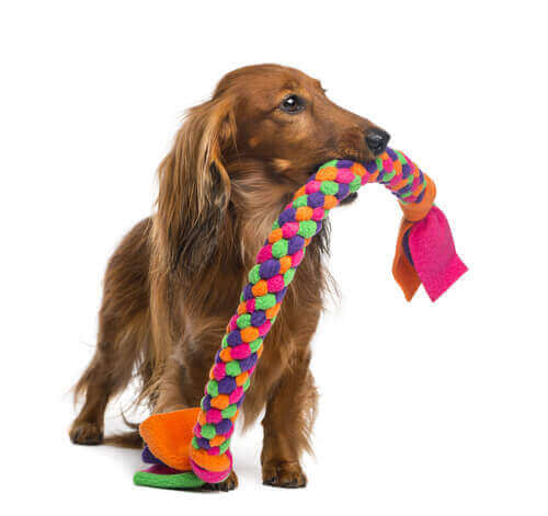 Liten hund med en stor leksak i munnen.
