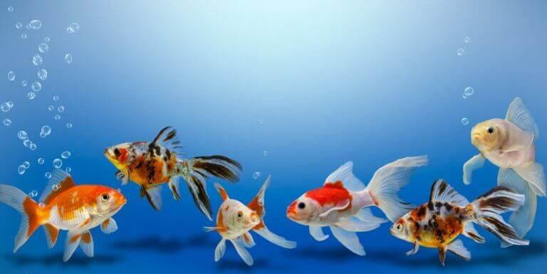 Ett stim av olika sorters guldfiskar.