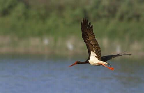 En svart stork flyger över vattnet.