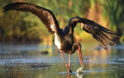 Den svarta storkens habitat inkluderar sötvatten.