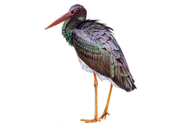 Profilbild på den svarta storken.