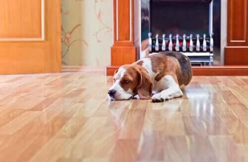 Farorna med laminatgolv för hundar