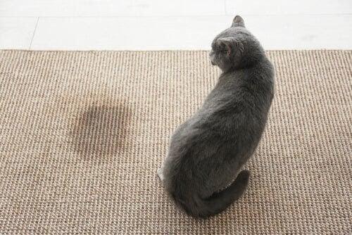 Hur du kan bli av med lukten av katturin i ditt hem
