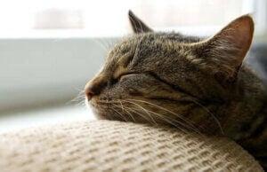 går katter i dvala: katt sover