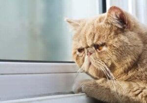 går katter i dvala: sömnig katt tittar ut genom fönster