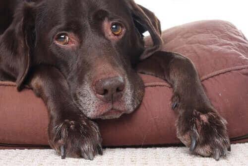 Kan hundar få huvudvärk?