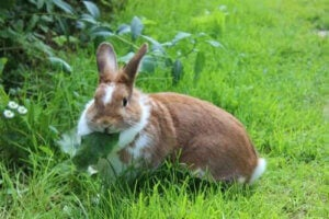 mat som är farlig för kaniner: kanin ute äter blad