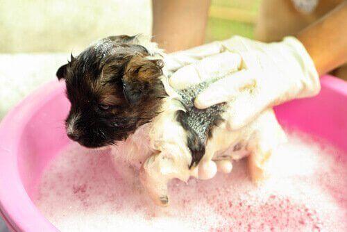 Liten valp blir badad i badkar.