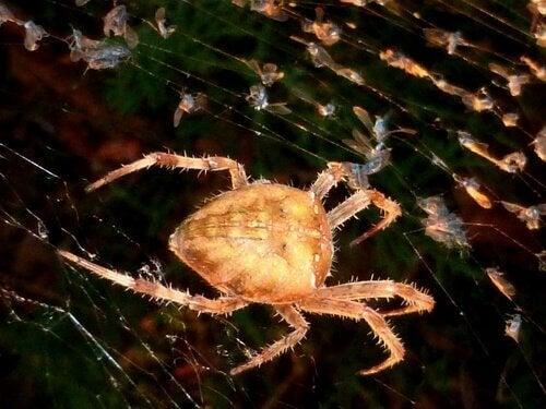 Fakta om klotspindlar: Vävarspindel i nät.