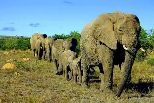 Elefanter är sociala djur och går på rad hållandes varandras svansar.