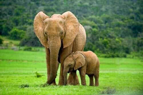 En elefantkalv står bredvid sin mamma.