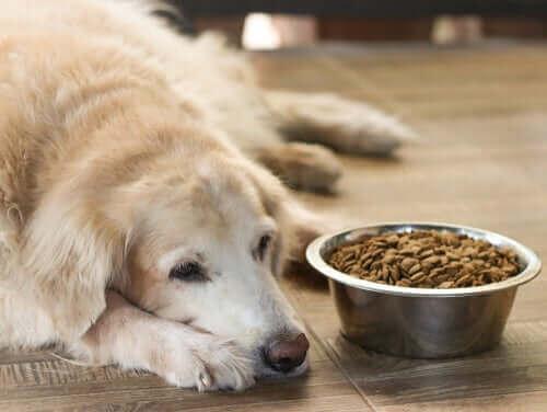 Äldre hund med dålig aptit ligger vid full matskål.