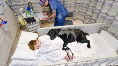Assistanshund ligger bredvid ett barn på sjukhus.