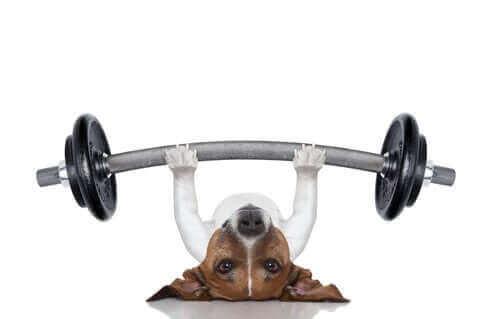 Hund som lyfter vikter.
