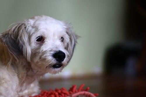 Visste du att din hund kan vara glutenintolerant?