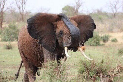 Elefant står i ett fält och äter.